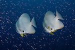 A pair of longfin spadefish or batfish, Platax teira, Raja Ampat, West Papua, Indonesia, Pacific Ocean