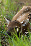 American elk calf (Cervus elaphus) lays low in the grass near Sprague Lake in Rocky Mountain National Park, June morning in Colorado