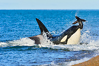 killer whale, or orca, Orcinus orca, attacking South American sea lion, Otaria flavescens (formerly Otaria byronia), Valdes Peninsula, Patagonia, Argentina, Atlantic Ocean