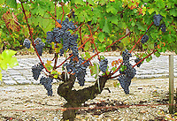 The vineyard of Chateau du Tertre in Margaux, with typical gravely pebbly  soil and Cabernet Sauvignon vine with ripe grapes at harvest time Margaux Medoc Bordeaux Gironde Aquitaine France Europe