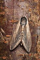 Ligusterschwärmer, Liguster-Schwärmer, Sphinx ligustri, privet hawkmoth, Privet Hawk-moth, Privet Hawk Moth, Schwärmer, Sphingidae, hawkmoths, sphinx moths