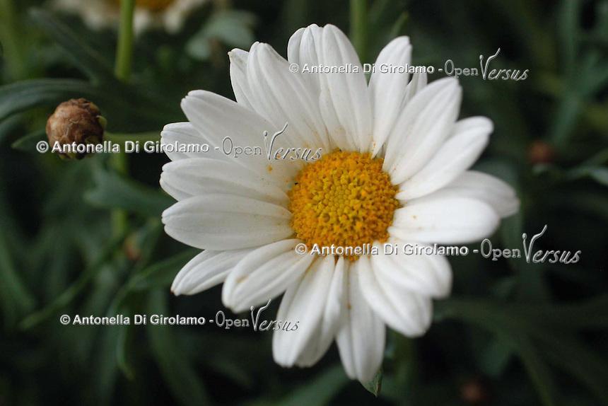 Fiori. Flowers. Margherita. Daisy......