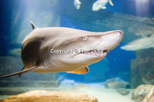 A curious shark peers out of the tank at the humans on the other side.