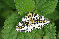 The Magpie Abraxas grossulariata Wingspan 38mm. A strikingly marked and easily recognised moth that rests with its wings spread flat. Adult has white wings overall, marked with patterns of black spots and yellow patches. Flies July–August. Larva feeds on various shrubs, notably currants and Gooseberry. Widespread but commonest in southern Britain.