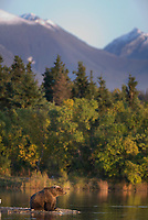 Brown bear, Brooks river, Kejulik mountains, Katmai National Park, Alaska.