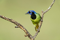 551110066 a wild green jay cyanocorax yncas perches in a plant on dos venadas ranch starr county texas united states
