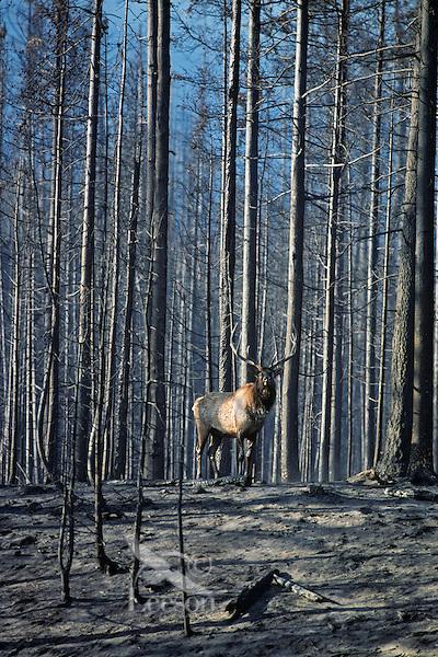 Rocky Mountain Bull Elk in recently burned forest.  Western U.S., fall.