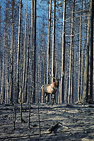Rocky Mountain Bull Elk in recently burned forest.  Western U.S., fall.