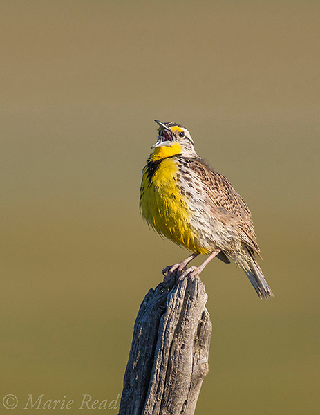 Western Meadowlark (Sturnella neglecta), male singing on fencepost, northern Utah, USA