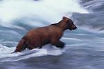 A bear can run about twice as fast as humans and can, in fact, outrun racehorses over short distances. The bear lacks the endurance necessary for long pursuits.