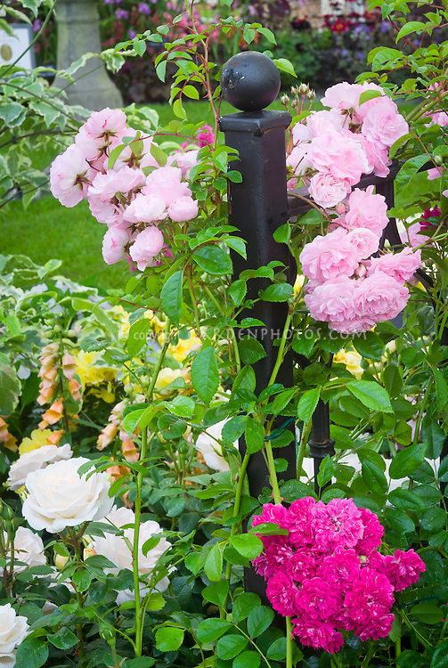 Rosa 'Maid of Kent' + 'Excelsa' (Rambler) aka 'Red Dorothy Perkins' + 'Champagne Moment' roses, pink, red, white variety of mixed colors, climbing on wrought iron fence