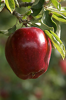 A mature Red Delicious apple hanging from a commercial orchard tree.