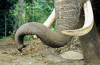 Detail of tusk and trunk of a elephant