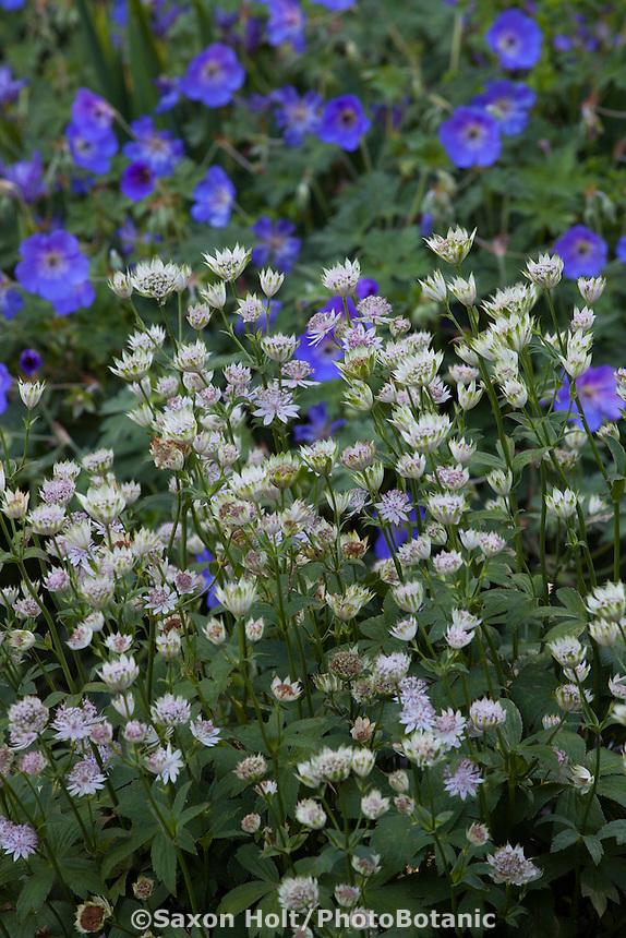 Masterwort, Astrantia major 'Buckland' flowering in perennial garden; Gary Ratway garden