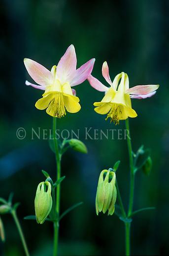 Yellow Columbine wildflower with pink petals