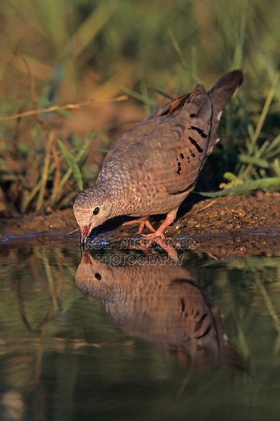 Common Ground-Dove, Columbina passerina, adult drinking, Starr County, Rio Grande Valley, Texas, USA