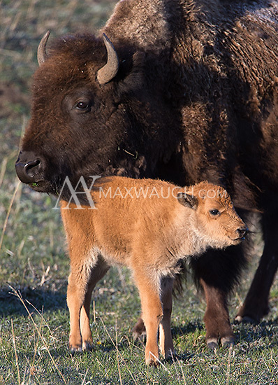 An American bison and its calf share a quiet moment at sunrise.