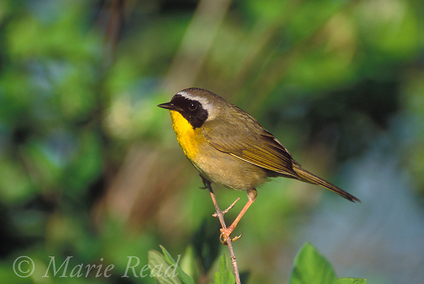 Common Yellowthroat (Geothlypis trichas) male, Ithaca NY, USA<br />