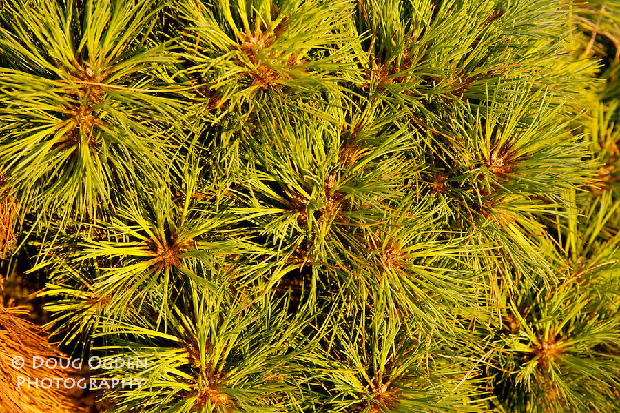Close-up of Pine needles.