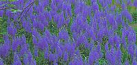 Common Camas flowers, Washington