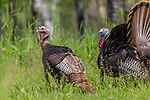 Tom turkeys in northern Wisconsin.