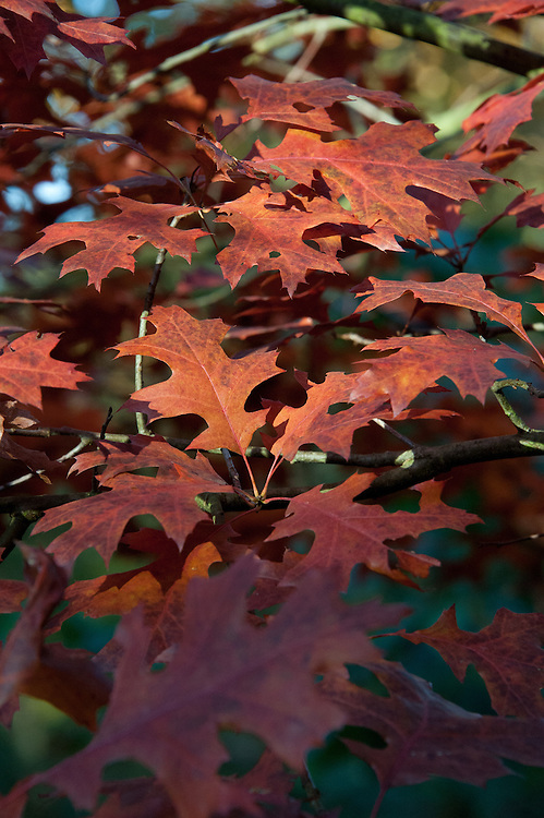 Autumn foliage of Scarlet oak (Quercus coccinea), early November.