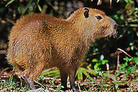 Capybara (Hydrochoerus hydrochaeris) South American rodent--largest rodent in the world.