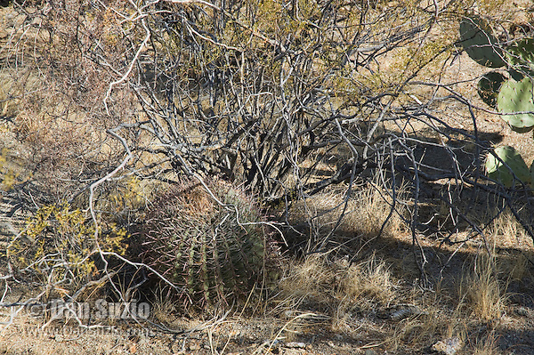 "Arizona barrel cactus, Ferocactus wislizenii, growing in shelter of Creosote bush, Larrea tridentata. Cactus often grow under ""nurse plants"" where shade and moisture provide better conditions for germination. Saguaro National Park, Arizona"