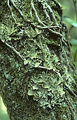 Tree Lungwort - Lobaria pulmonaria