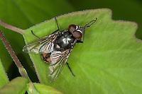 Gesichtsfliege, Herbstfliege, Augenfliege, Stallfliege, Fliege, Musca autumnalis, face fly, autumn house-fly