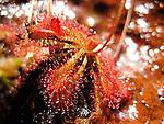 Sundew-Drosera spathulata