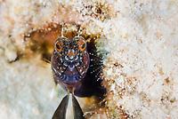 Sailfin blenny, Emblemaria pandionis, Bonaire, Caribbean Netherlands, Caribbean