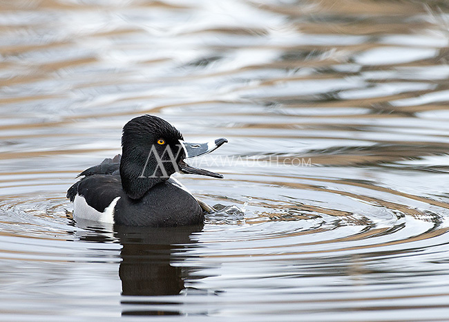 A ring-necked duck calls quacks away.