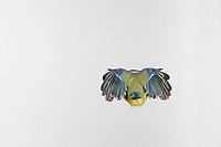 Blaumeise, im Flug, Flugbild, fliegend, von hinten, Hinterteil, Blau-Meise, Meise, Meisen, Cyanistes caeruleus, Parus caeruleus, blue tit, flight, flying, La Mésange bleue