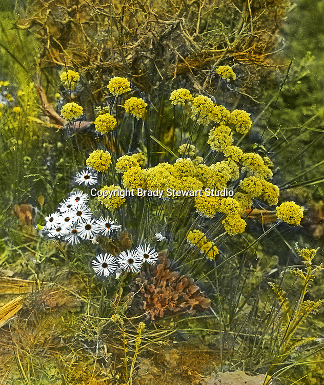 Jerome ID:  Flowers around the sagebrush near the homestead farmhouse - 1910.  Brady Stewart and three friends went to Idaho on a lark from 1909 thru early 1912.  As part of the Mondell Homestead Act, they received a grant of 160 acres north of the Snake River.  Brady Stewart photographed the adventures of farming along with the spectacular landscapes. To give family and friends a better feel for the adventure, he hand-color black and white negatives into full-color 3x4 lantern slides.  The Process:  He contacted a negative with another negative to create a positive slide.  He then selected a fine brush and colors and meticulously created full color slides.