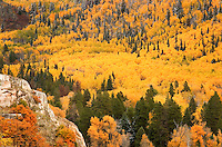 A carpet of gold drapes the walls of Fish Creek canyonat the height of autumn in Steamboat Springs, CO