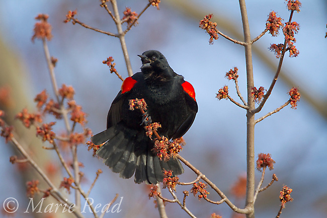 Red-winged Blackbird (Agelaius phoeniceus), male perched amid flowers of red maple (Acer sp), singing and displaying in spring, Ithaca, New York, USA