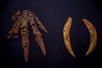 SAO RAIMUNDO NONATO, BRAZIL - FEBRUARY 02, 2014: the remains of a Catonyx (L) and a Smilodon, (R) both believed by scientists to have disappeared around 10,000 years ago, at the Funda&ccedil;&atilde;o Museu do Homem Americano  on February 2, 2014 in Sao Raimundo Nonato, Piaui province, in Northern Eastern Brazil.  The foundation has been in the forefront of discussion of the occupation of South America and the lives of the first American populations. The pioneering investigations of Archaeologist Niede Guidon form the basis of the organisation of the Serra de Capivara National Park and the excavations carried out. <br /> <br /> Daniel Berehulak for The New York Times