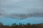 Starling murmurations appear to be a tornado touching down in the UK by David Higgins