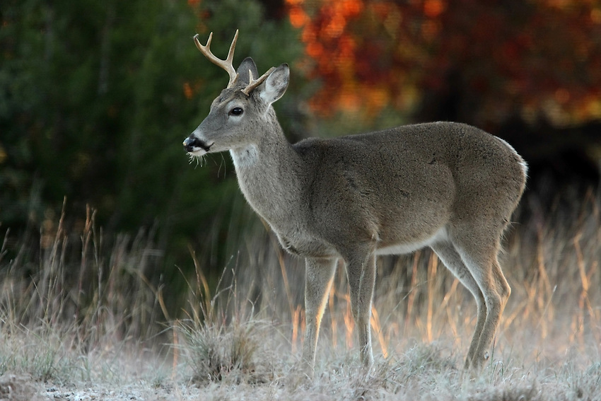 Whitetail buck, first light.