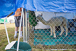 Adventurer, an alpaca from Renaissance Farms Alpacas in McArthur, Ohio, tries to find alfalfa among his food while guests come up to see him at the Pawpaw Festival on Sept. 17, 2016.
