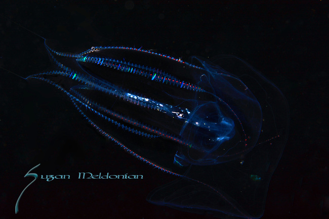 Jellyfish_Comb Jelly,