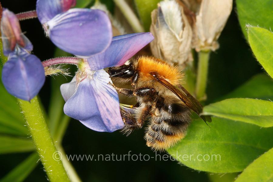 Ackerhummel, Acker-Hummel, Acker - Hummel, Bombus pascuorum, syn. Bombus agrorum, Arbeiterin beim Blütenbesuch, Nektarsuche, Bestäubung, common carder bee
