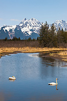 Mating pair of Trumpeter swans, Chugach Mountans, Copper River Delta, southcentral, Alaska