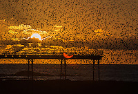 Starlings murmuration during sunset over the Victorian peer in Aberystwyth, West Wales. Thursday 11 February 2016