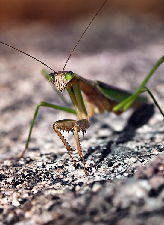 Praying Mantis, Stagmomantis carolina