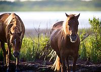 Wild horses off of Assateague Island near Ocean City, Maryland.