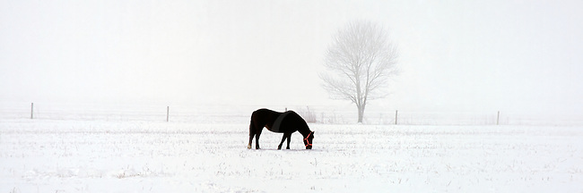 I had a bad case of cabin fever one day in February and vowed to get out of the house the very next morning. I threw the camera in the truck and left about 7:30 with no destination in mind, just get out and ramble. Ten miles later, there she was, a solitary black mare in the new snow wearing a brand new red halter. I'm fairly convinced it was meant to be.<br /> <br /> The Photo Gypsy was with me that day, so my shooting luck was doubled: there was an icy fog down that took out the entire farming valley background to make a striking minimalist image of this grazing horse. I still go by this spot often and have never seen it the same again. <br /> <br /> This image was shot back in the film days near home in central Pennsylvania. Also available in the catalog in the full panoramic version on canvas.