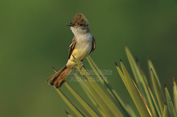 Ash-throated Flycatcher, Myiarchus cinerascens, adult on Trecul Yucca (Yucca treculeana) , Starr County, Rio Grande Valley, Texas, USA, May 2002
