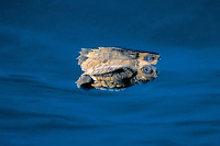 olive ridley sea turtle, hatchling, Lepidochelys olivacea, Costa Rica, Pacific Ocean